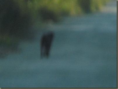 Florida Panther?