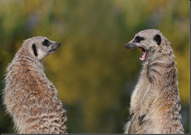 Meerkat from David Nordell