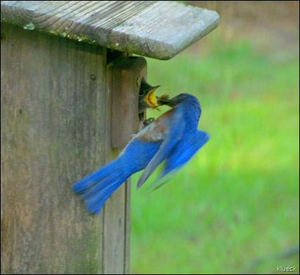 Male Bluebird feeding Young