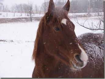 winter horses 040