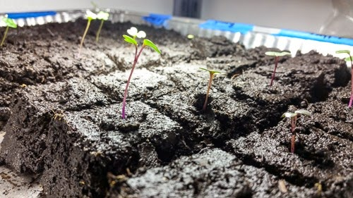 Seedlings in Soil Blocks
