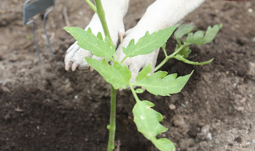 You want to be sure to plant tomatoes deeply to encourage better root formation.