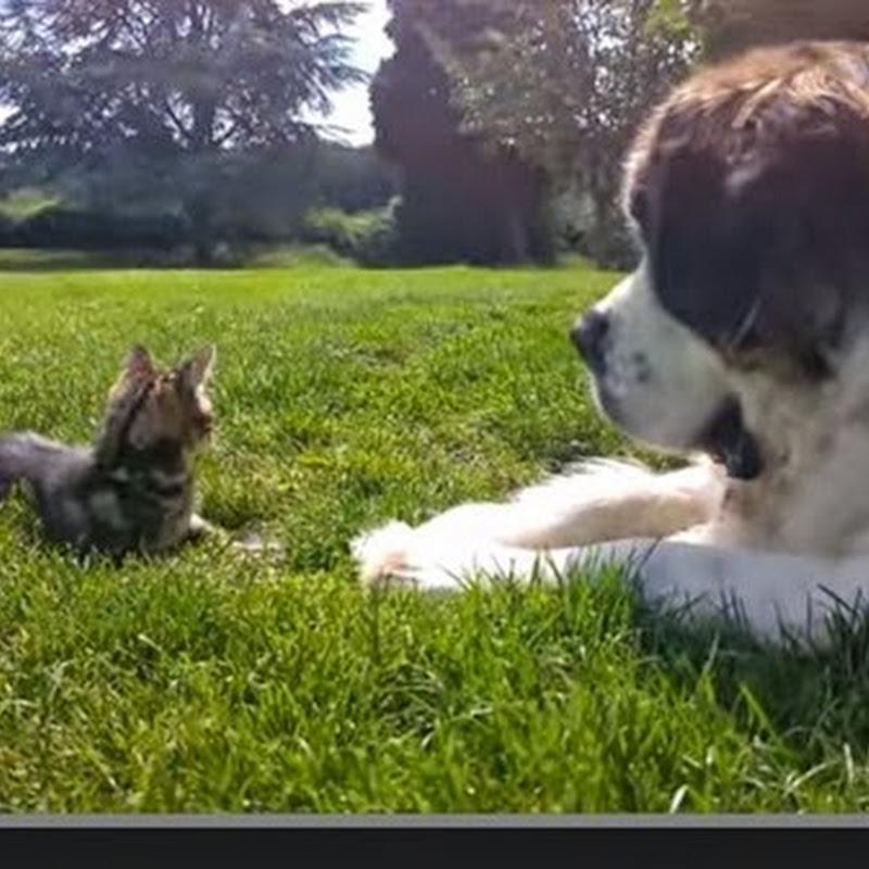 Σκυλος Αγίου Βερνάρδου αγαπά το νέο γατάκι
