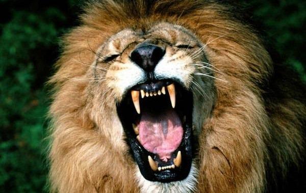 5- Rugido de um leão