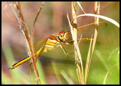 11 - Dragon Fly