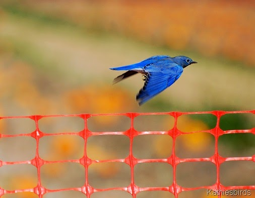 10. mountain bluebird az-kab