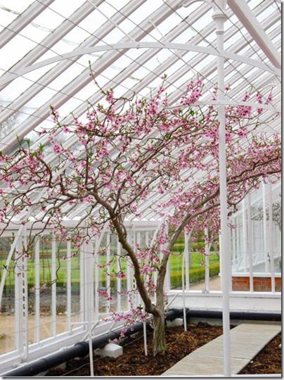 Greenhouse Cherry Blossom5-small