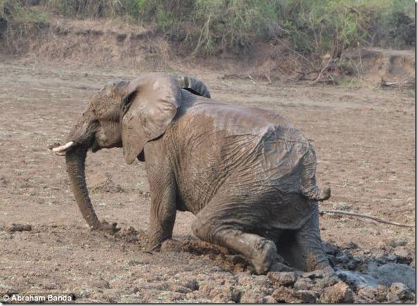 Resgate dramático de um elefante bebê e sua mãe (16)