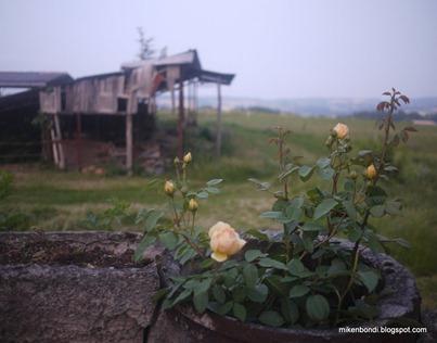 terrace roses