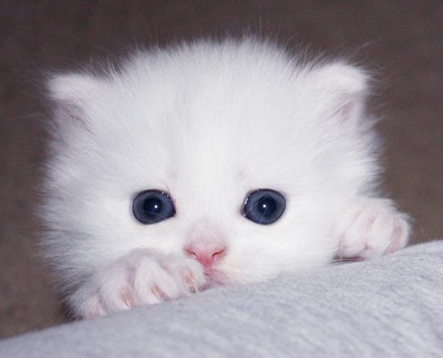 gato a