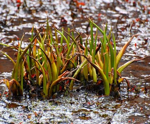 5. pond plants-kab