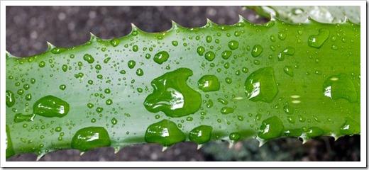 121022_Aloe-maculata-x-cameronii