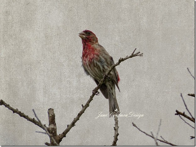 HouseFinch_Wet