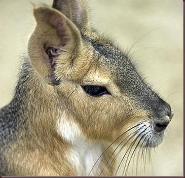 Amazing Animals Pictures Patagonian mara  (9)