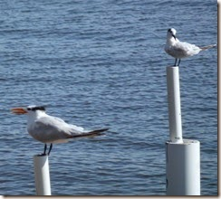 Royal Tern and seagull