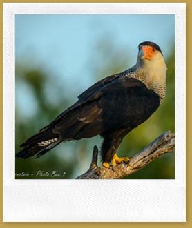 Crested Caracara (Caracara cheriway)
