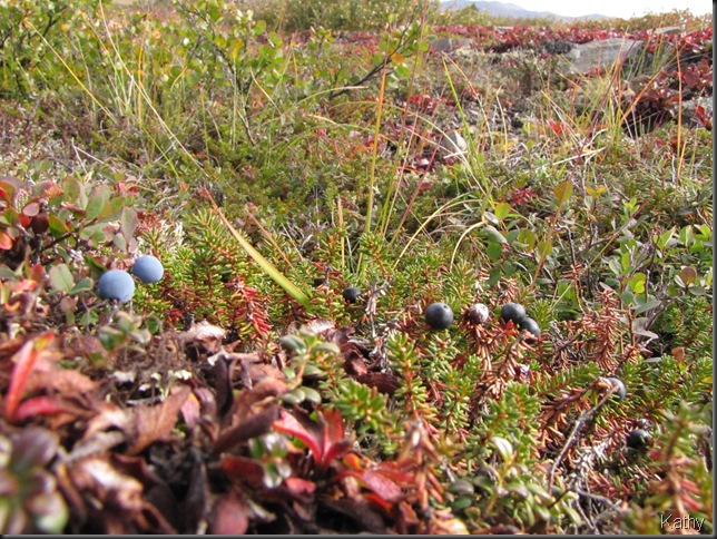 Blue Berries and Crow Berries at the Arctic Circle