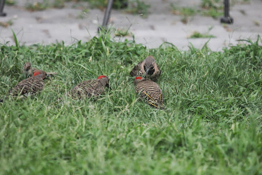Four Northern Flickers in the yard - dad with THREE babies! July 20, 2013