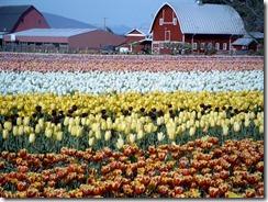 tuliptown2