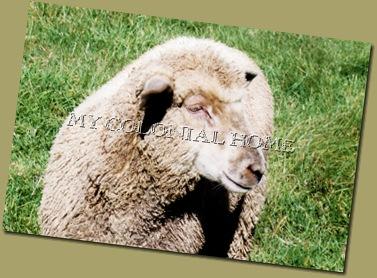 Sheep_0003