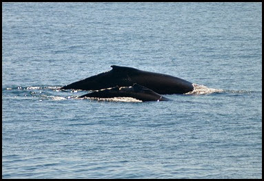 07k - Whales - mom and injured calf
