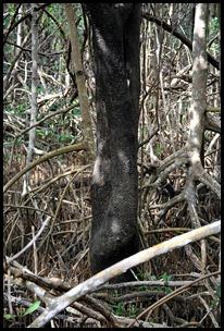 10 - Tree Walk - mangrove poster Black Mangrove