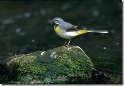 grey wagtail wildlife-sound.org