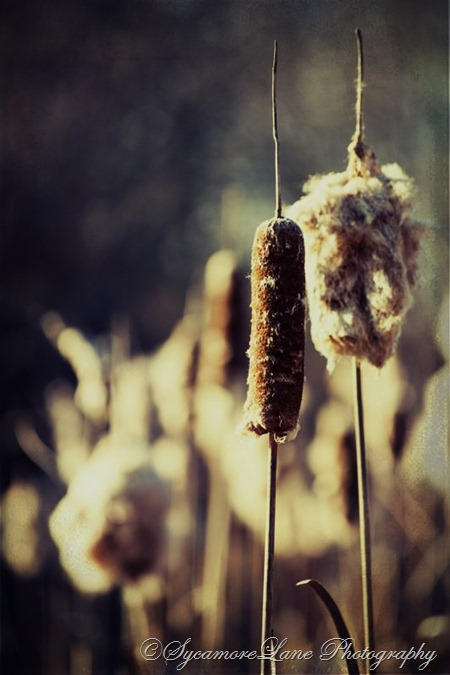 January 2013-cattails-hd-SycamoreLane Photography