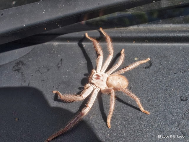 Huntsman spider (3)