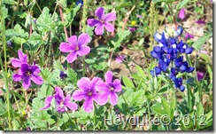 phlox and bluebonnets