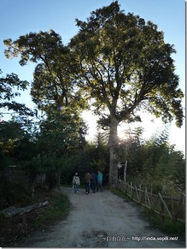 司馬庫斯-day2-夫妻樹