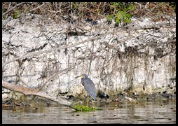 04 - Tri Color Heron