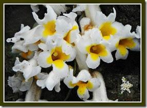 christinsonia