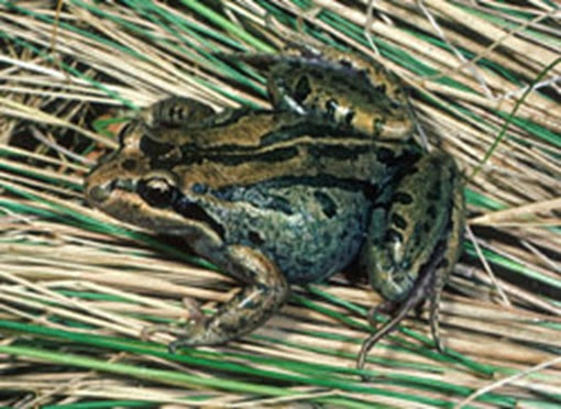 Amazing Pictures of Animals, Photo, Nature, Incredibel, Funny, Zoo, striped marsh frog or brown-striped frog, Limnodynastes peronii, Alex (9)