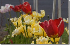 tulips at Hellisandur