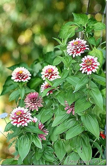 Zinnia Cherry Swizzles