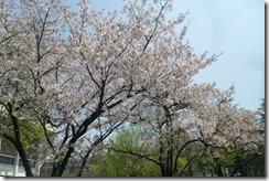 Cherry Blossom Festival Korea 005