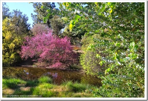 150307_UCDA_041_Acacia-podalyriifolia- -redbud