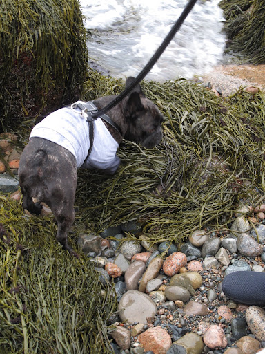 There's always a ton of seaweed on the beaches in Maine and Francesca loves sniffing it.  It's very salty and kind of fishy smelling.