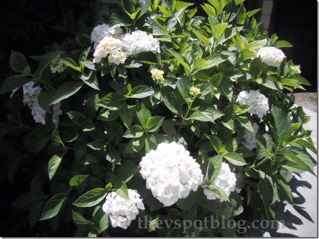 hydrangea, white, flower