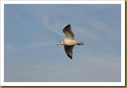 - Herring gull hover skyD7K_8605 November 13, 2011 NIKON D7000