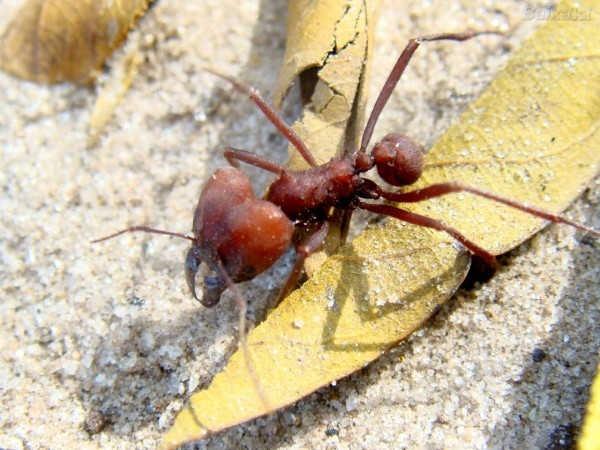 2- Formigas-cortadeiras