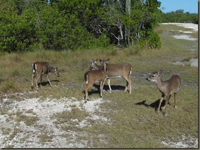 herd of Key Deer of Big Pine Key