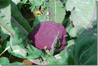 Brócolos roxos  DSC_0472DSC_048311