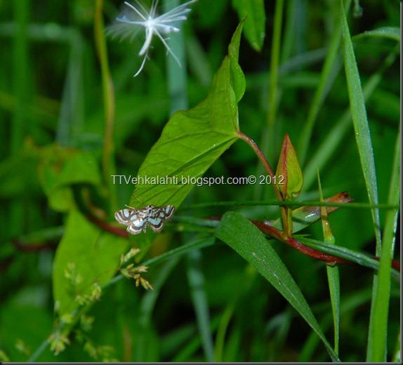 makkarakoski perhonen 051