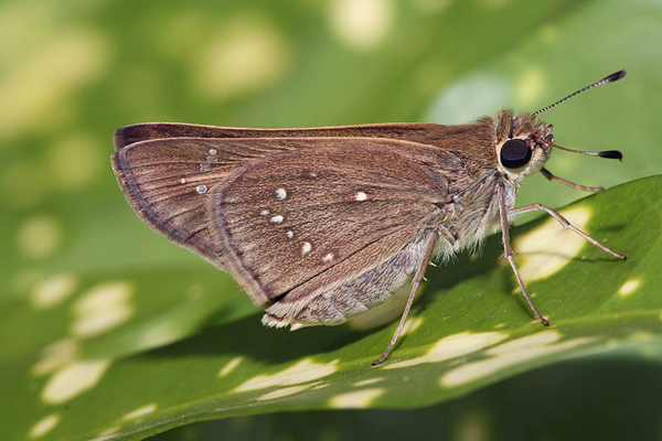 The Rockland grass skipper butterfly (Hesperia meskei pinocayo), an amber golden insect with club like antenna and black eyes, is now officially declared extinct. Photo: Muhammad Mahdi Karim
