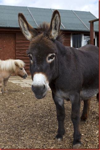 Jasper the donkey