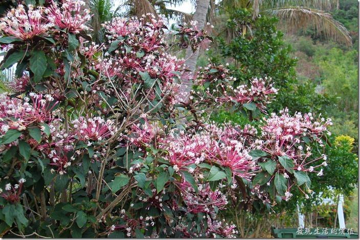 屏東-後壁湖白沙。白沙灣的入口處種植了許多的煙火樹或煙火花,就像在慶祝我們的到來似的。這花真的很像煙火爆開的樣子,紫紅色細長的花冠像極了騰空的煙火痕跡,白色的小花就像是一團團爆發的煙火,讓人稱奇。