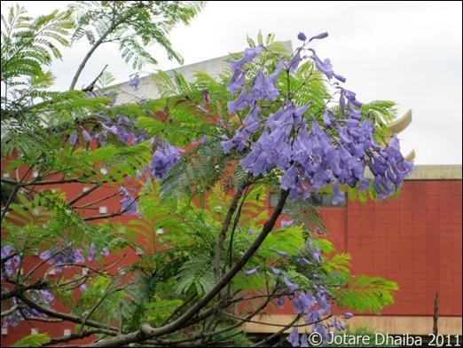 Blue Mimosa6_final