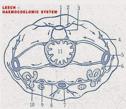 HAEMOCOELOMIC SYSTEM -HIRUDINARIA